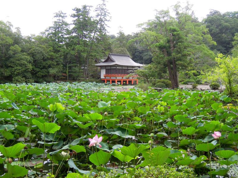 宇佐神宮 菱形池と原始蓮