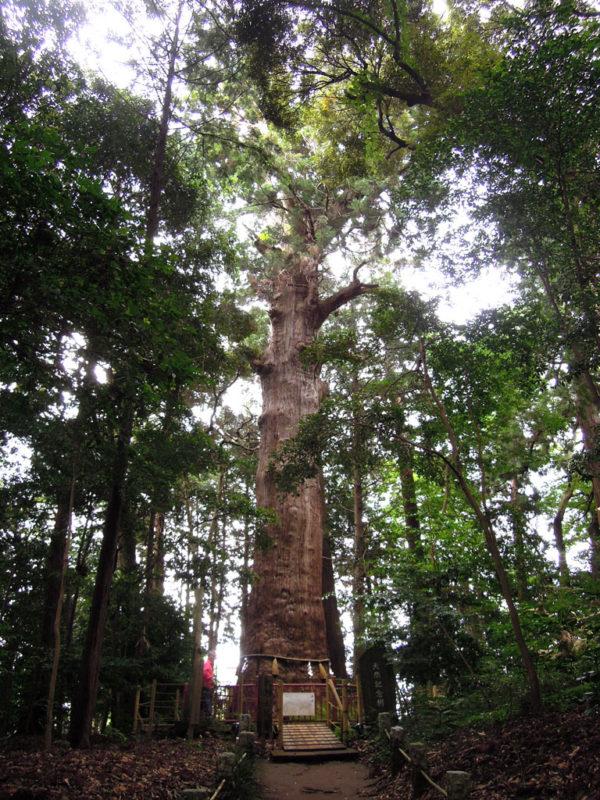 台方麻賀多神社 神木